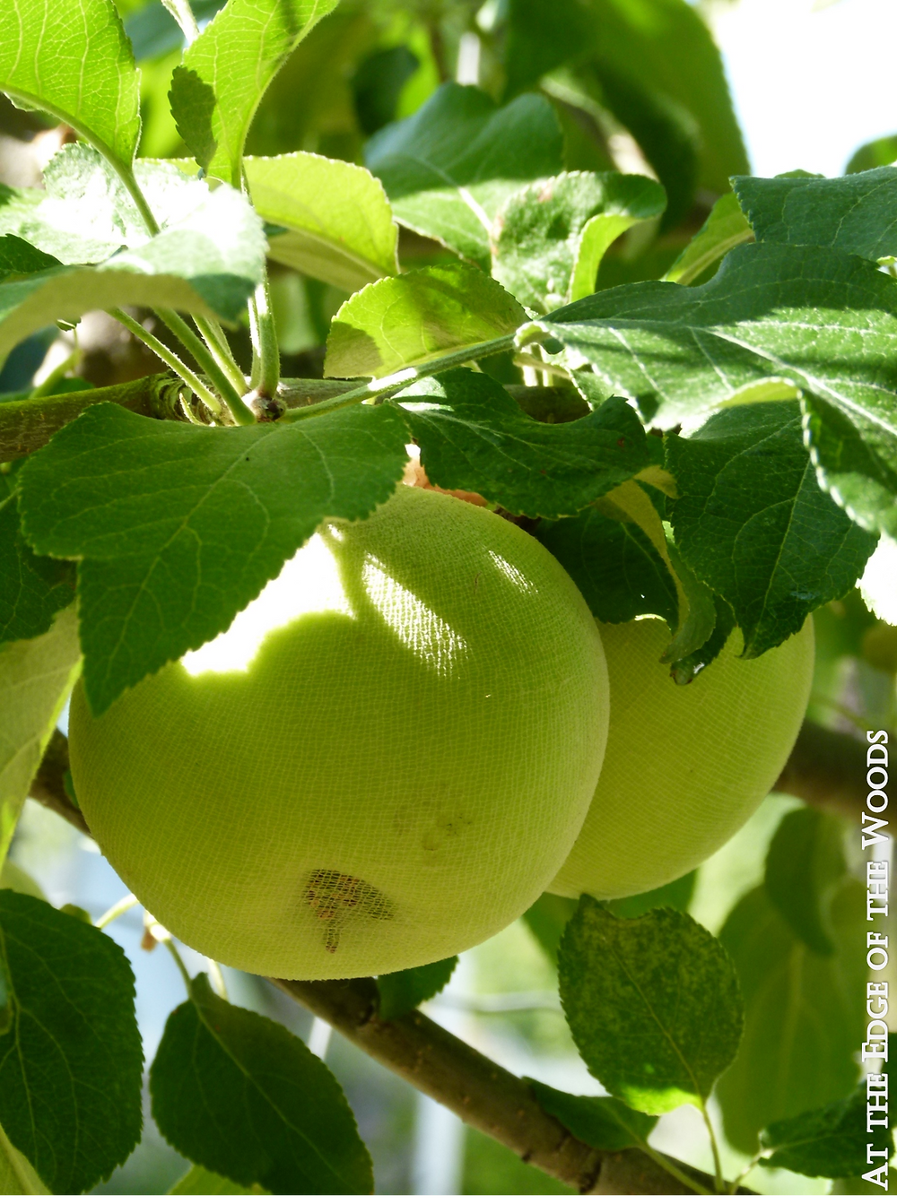 apples with netting covers