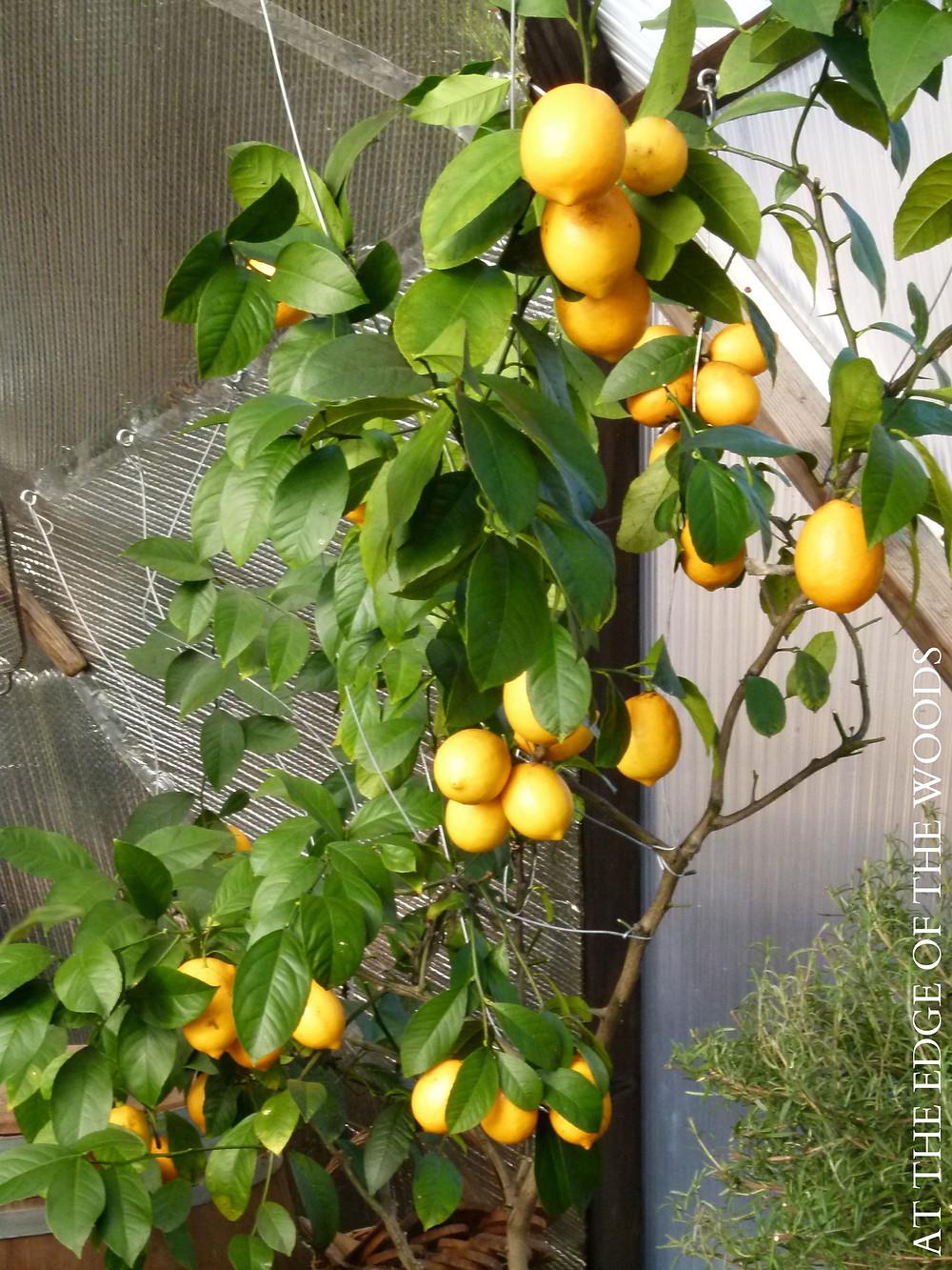 mature Meyer Lemon tree