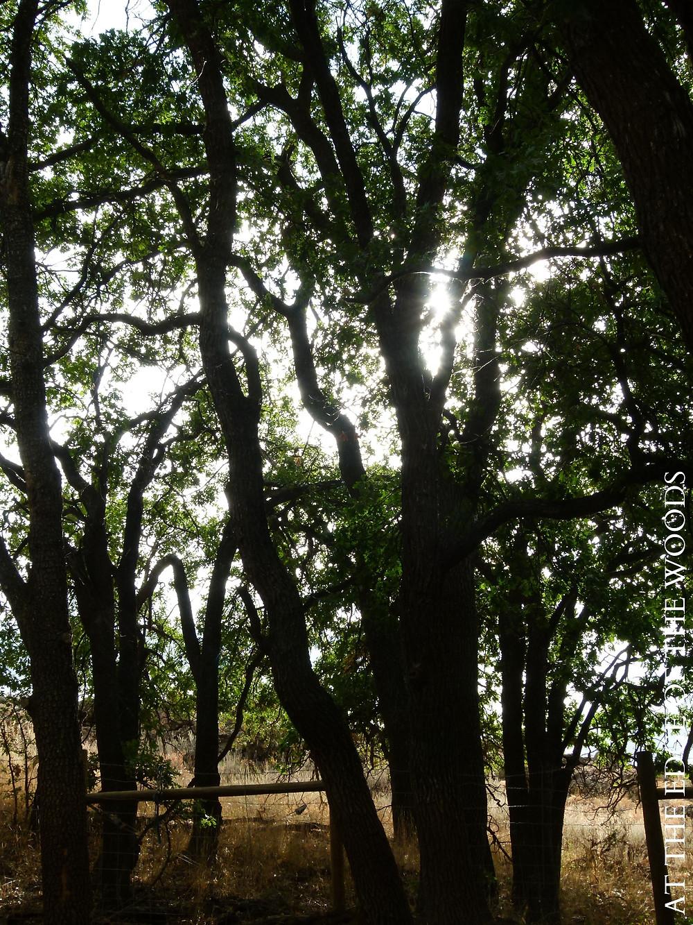 morning sunshine through the oak trees