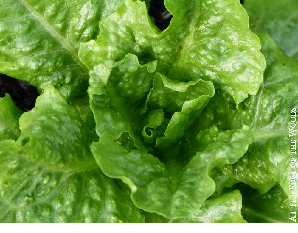 Fenberg Lettuce growing in the greenhouse