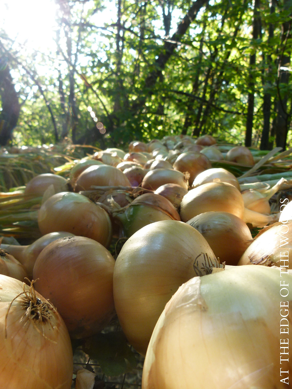 onion bulbs curing for storage
