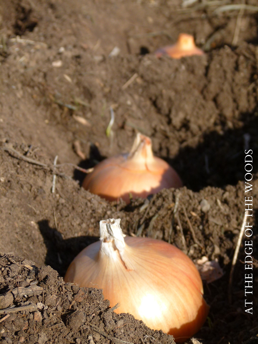 seed onion bulbs ready to be planted
