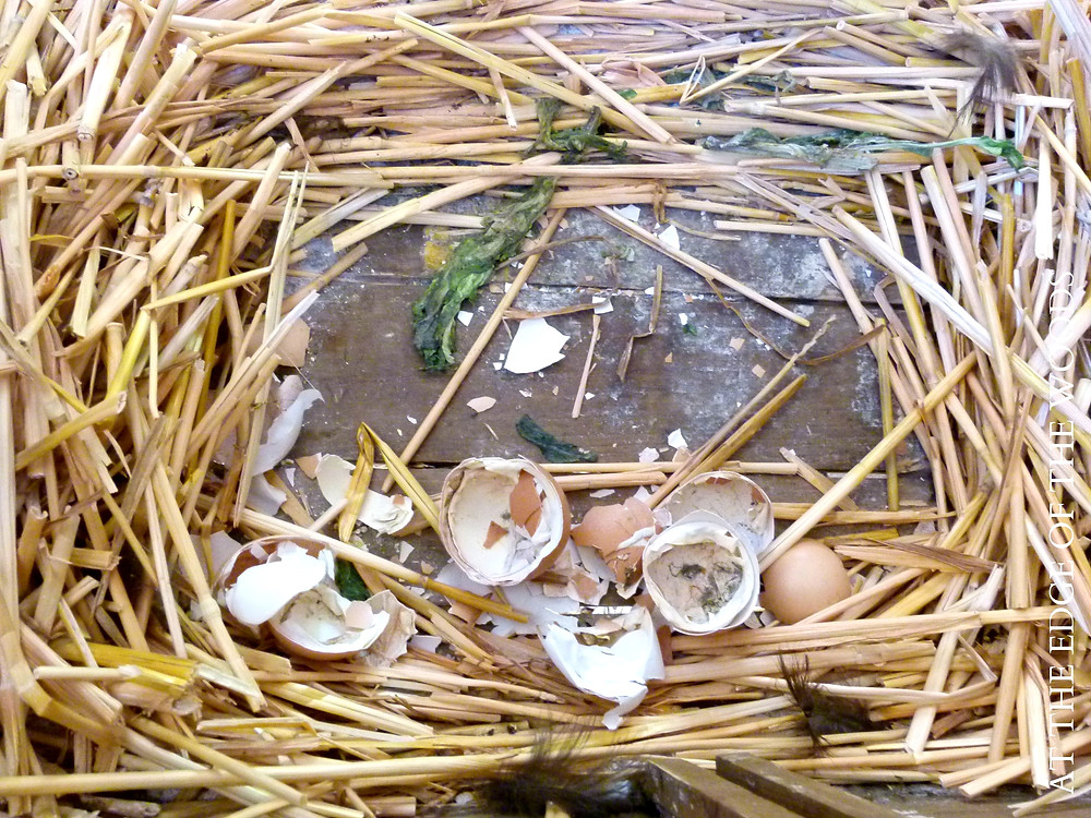 eggshells and debris are left behind in the nest