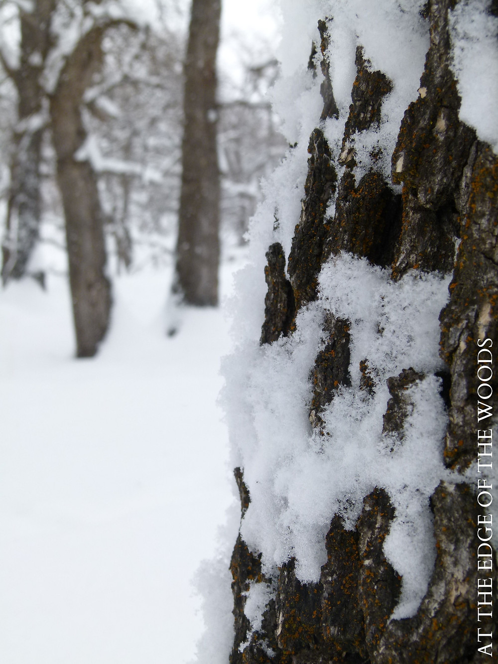 snowflakes cling to the tree bark