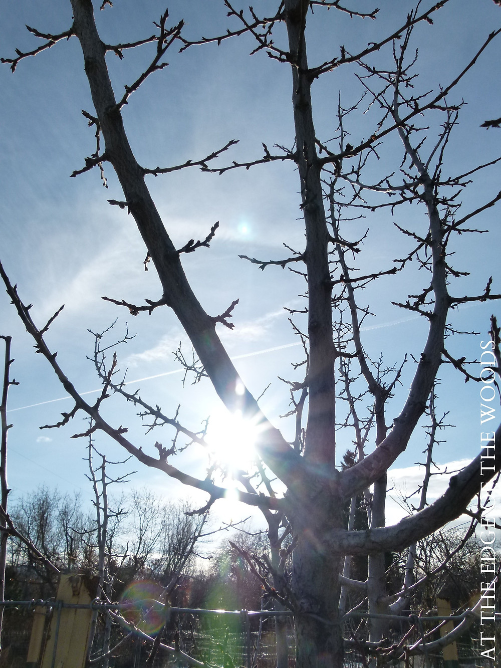 an apple tree silhouetted against the sunshine
