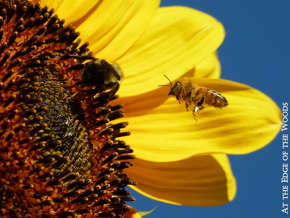 a honeybee lands on the sunflower