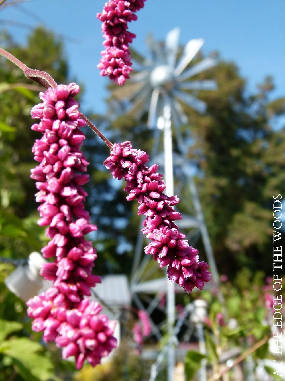 Kiss-Me-Over-The-Garden-Gate blooms