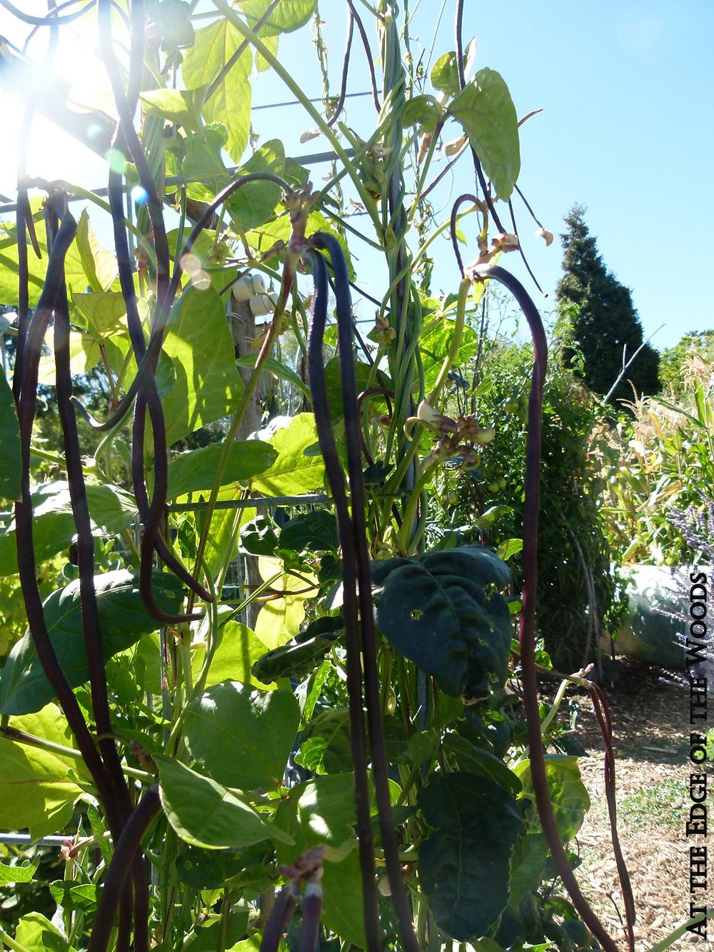 yard long beans in the outdoor garden