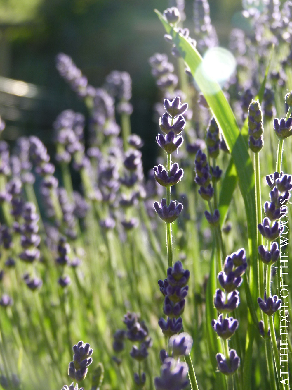 numerous bushes of purple lavender buds are about to open into fragrant blooms