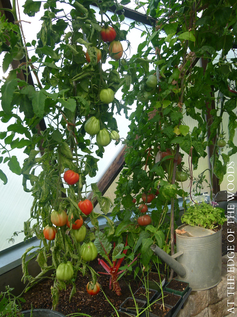 tomato vines are trained to eyebolts around the walls of the greenhouse