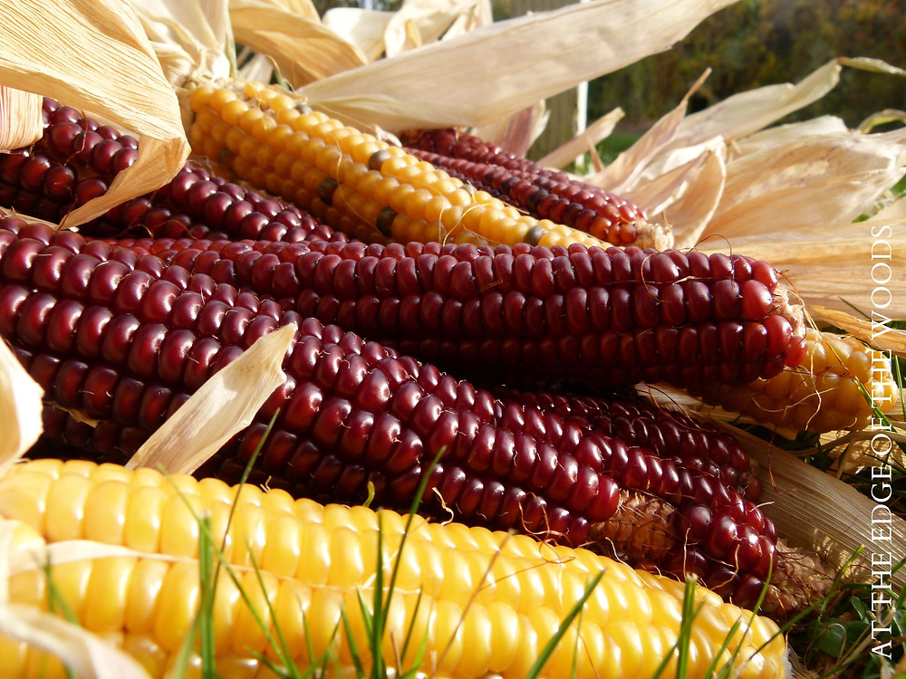 yellow and red flint corn