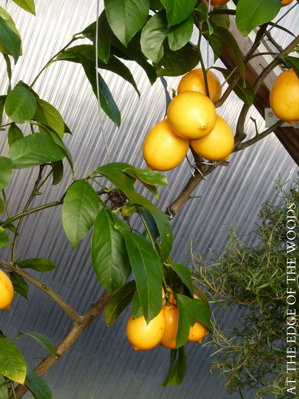 Improved Meyer Lemon tree