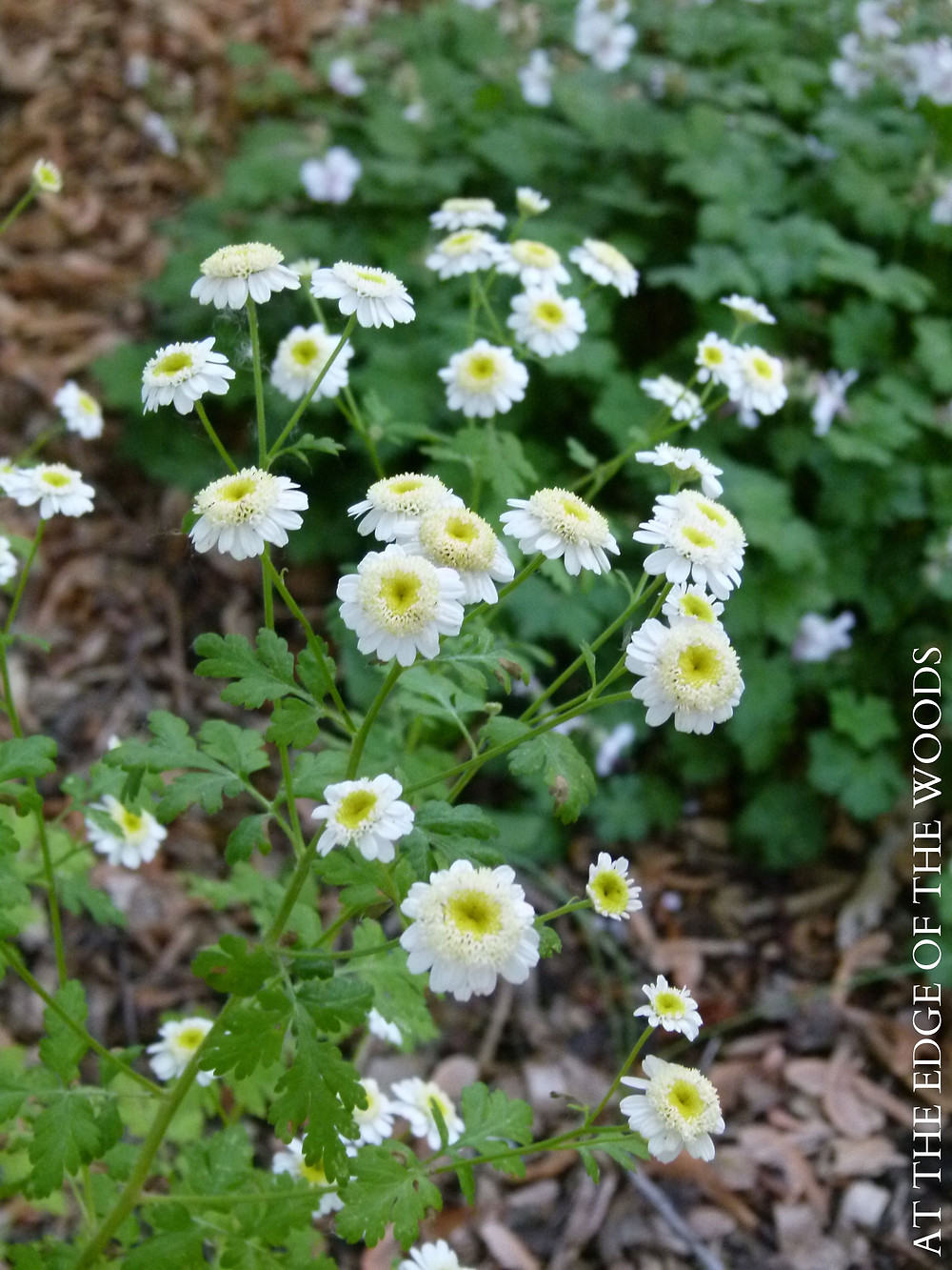 feverfew grows wild around the base of the sunroom foundation