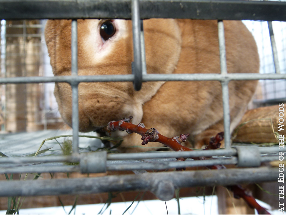 the red buck rabbit gets some prunings