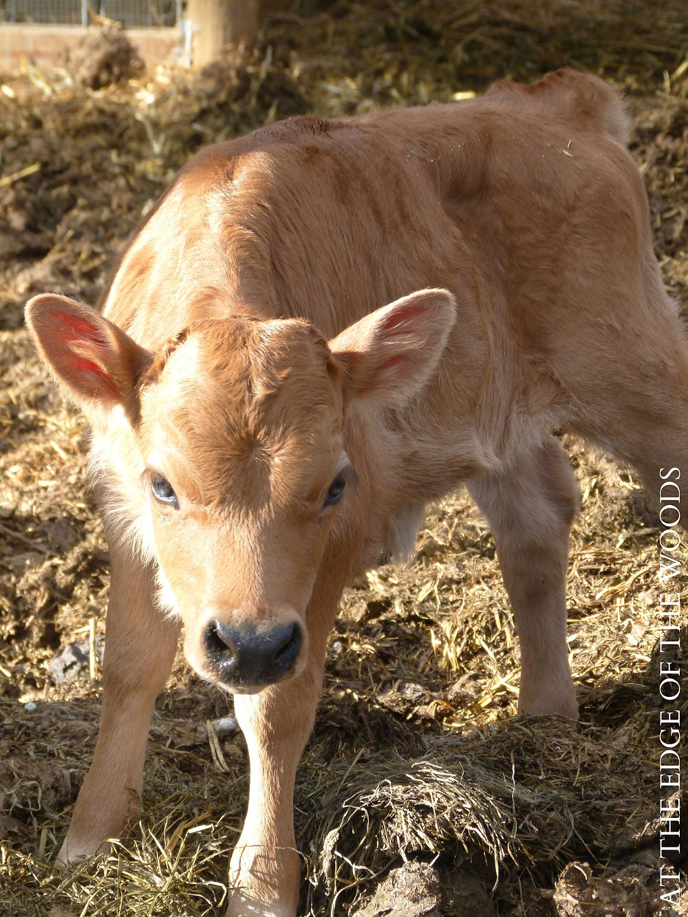 the homestead's calf, Glory
