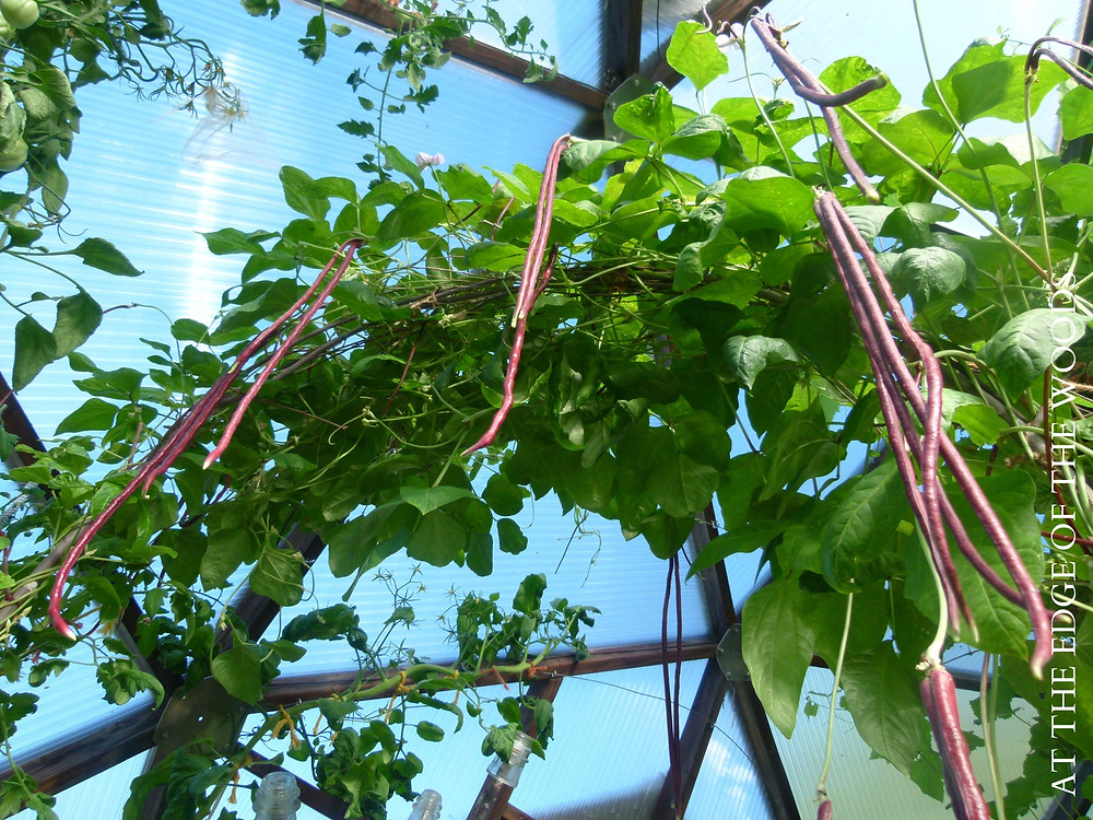 yard long beans in the greenhouse