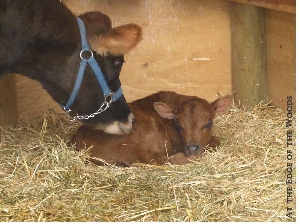 Lissy Cow talks to her calf, Dandy