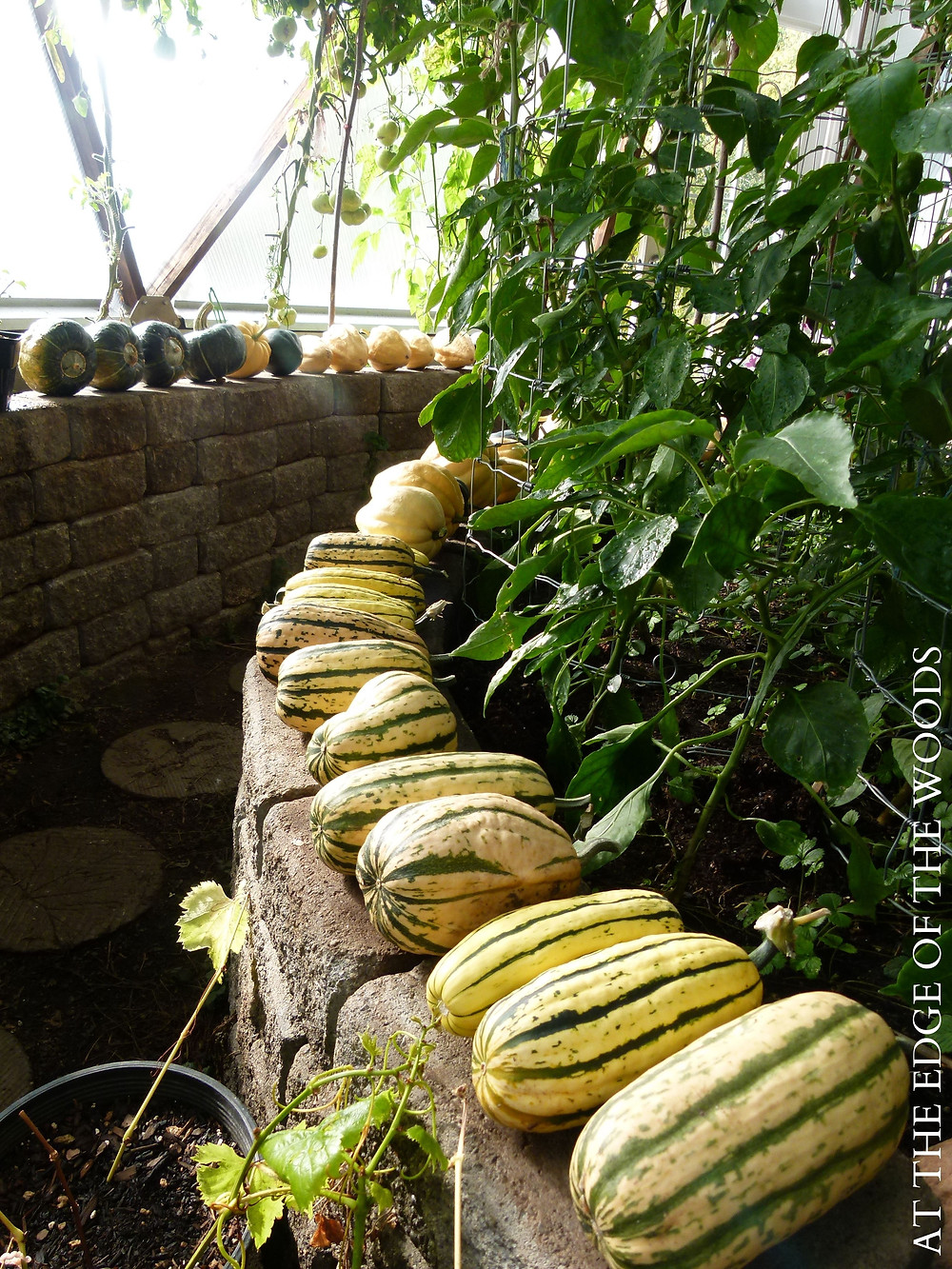 winter squash curing on the stone greenhouse walls