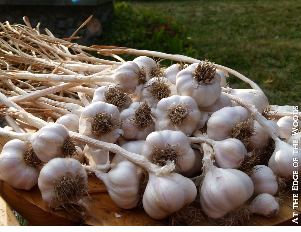 garlic bulbs after being cleaned