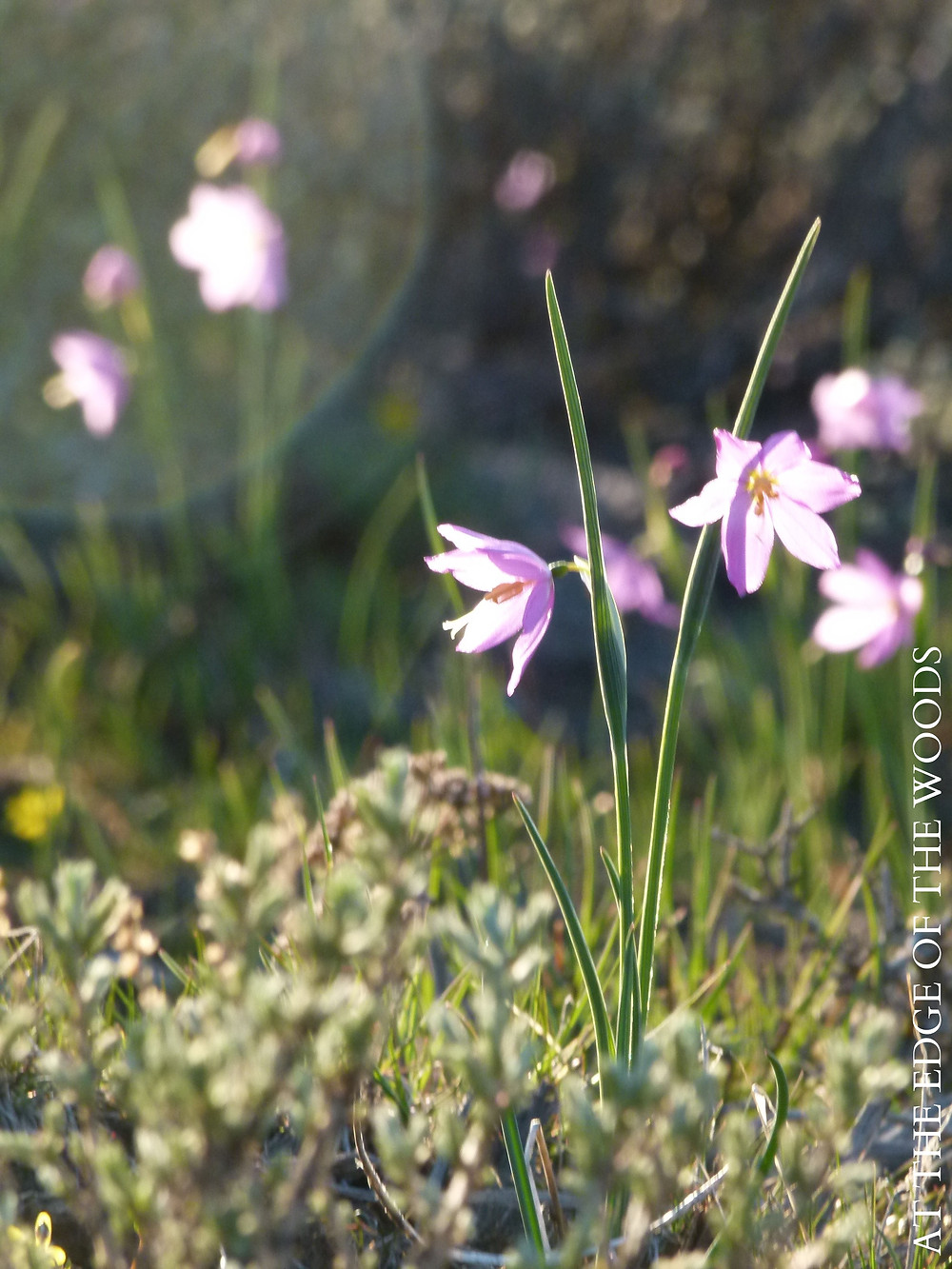 Grass Widow wildflowers and sagebrush