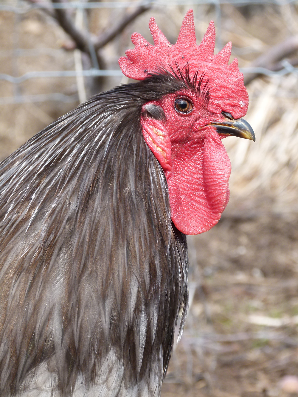 Blue Australorp rooster