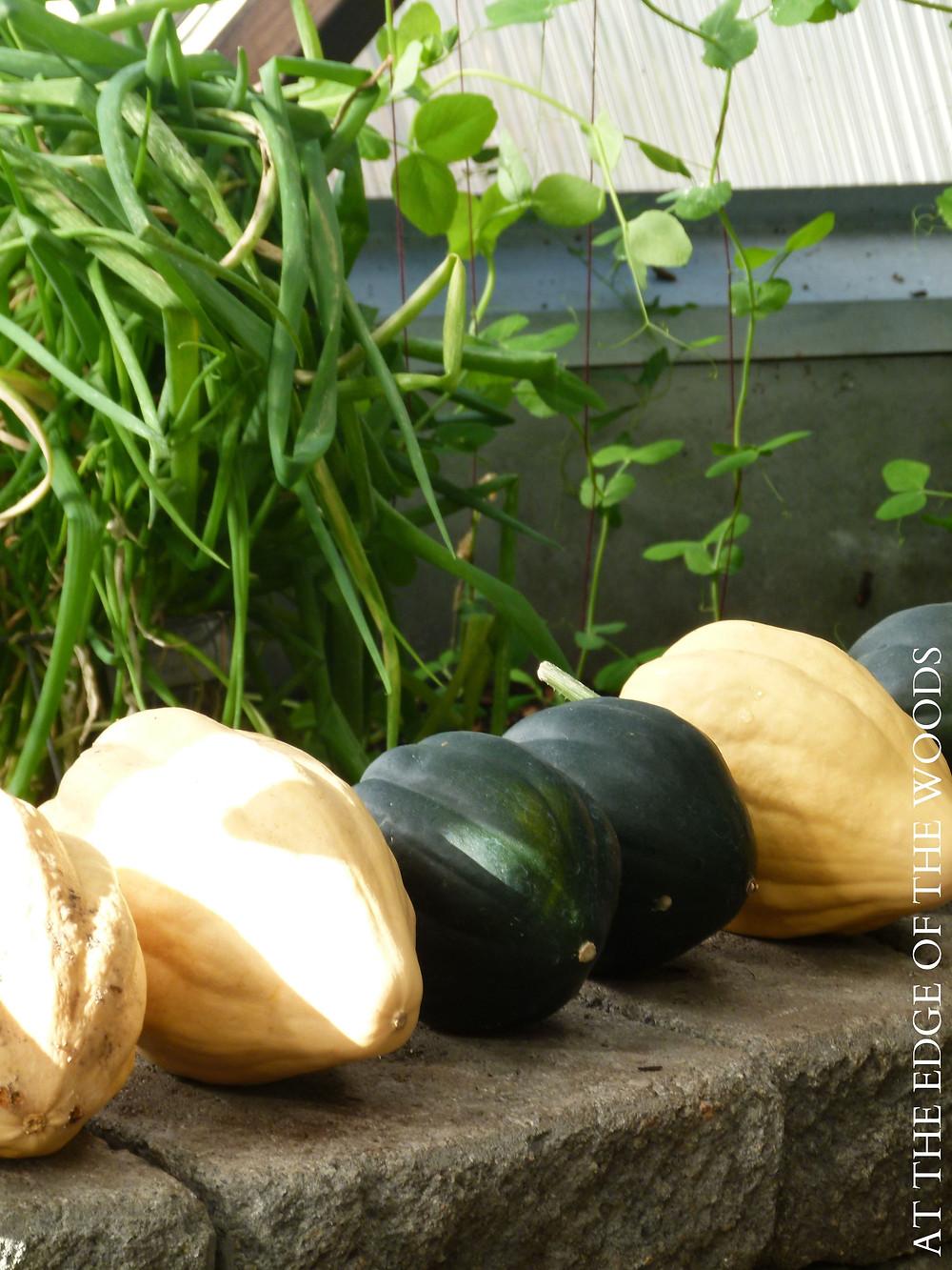 Cucurbita pepo squash curing in the greenhouse