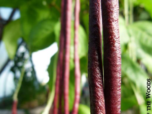 Bountiful Beans, Part III: Yard Long Beans