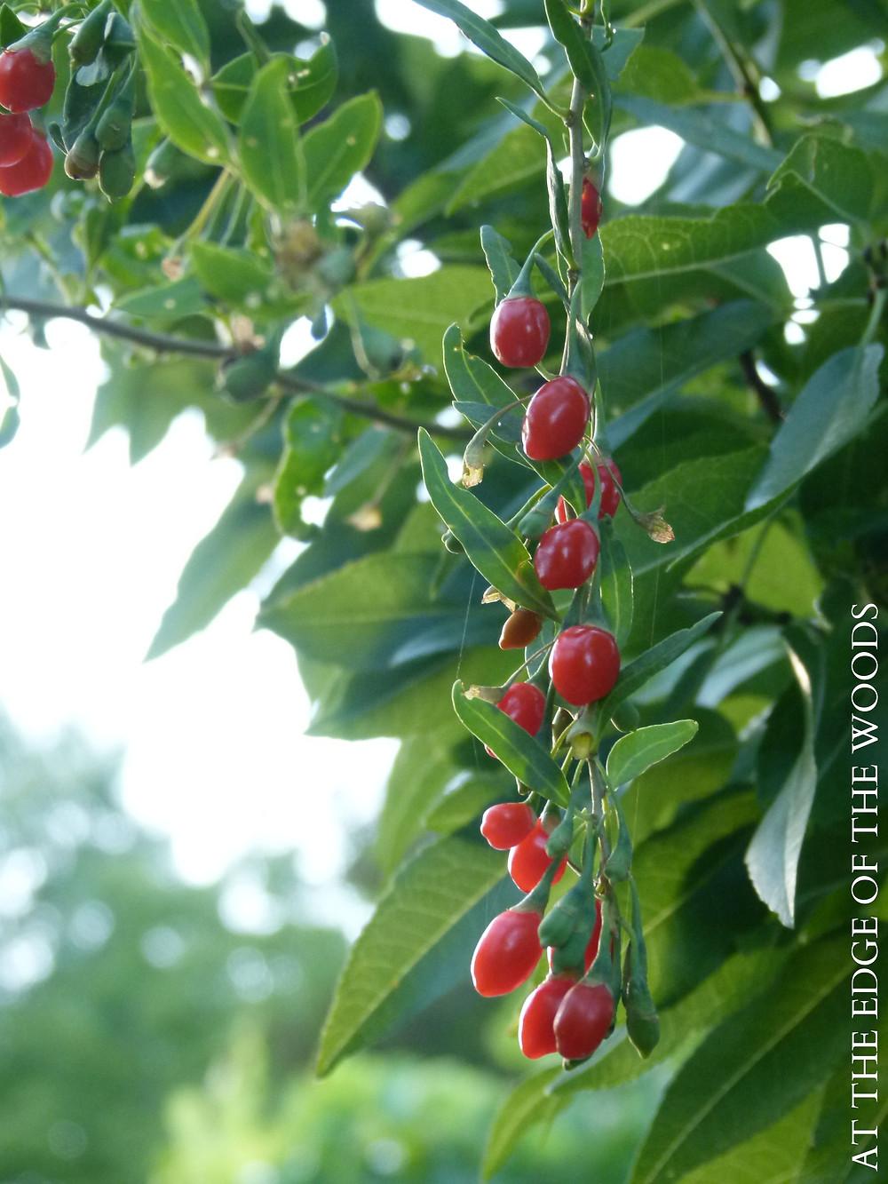 gogi berries