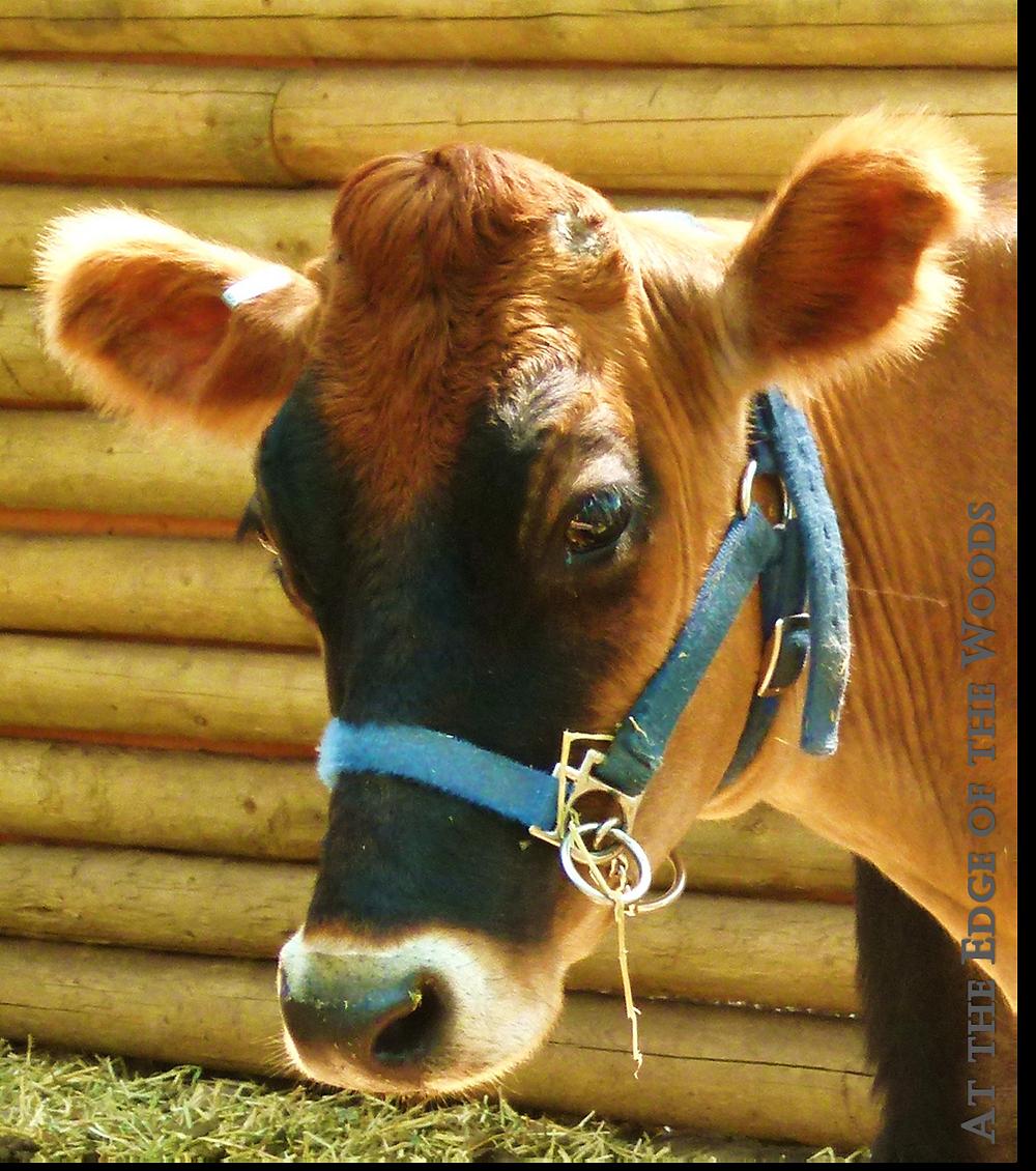 Sweet Alyssum, our milk cow