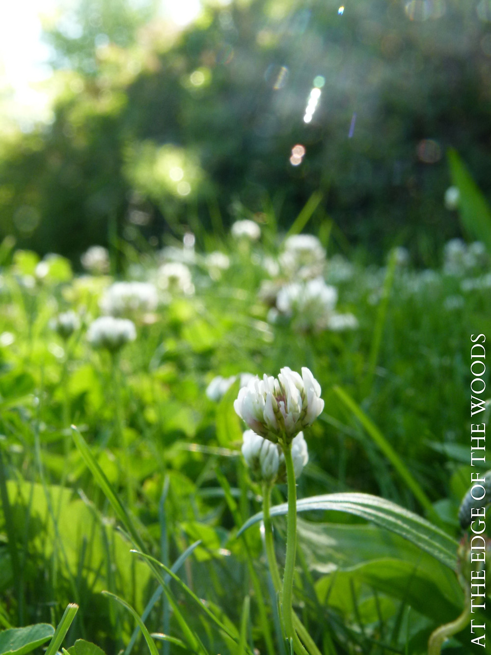 white clover is turning the lawn into a meadow