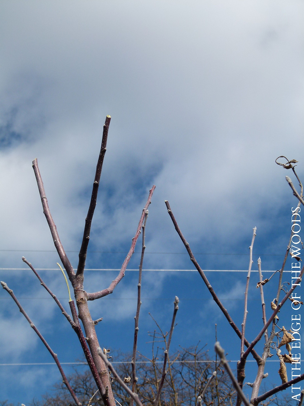 pruning cuts on the top branches of an apricot tree