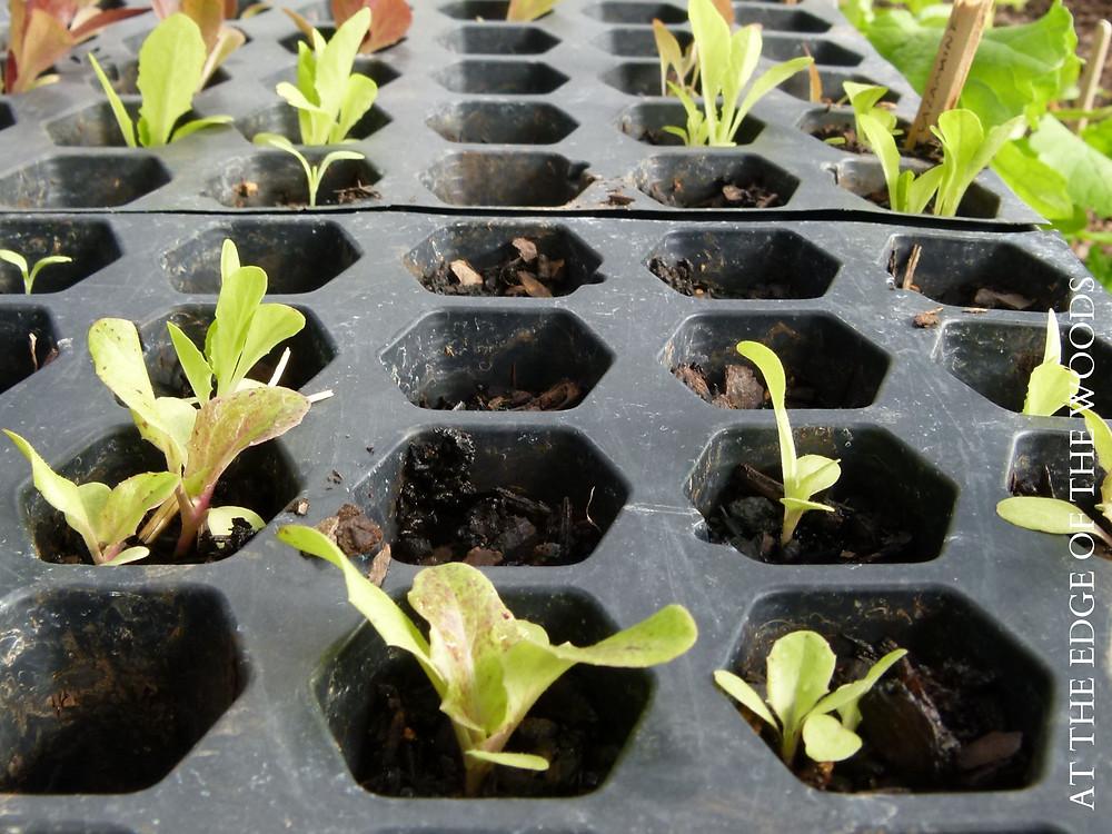 lettuce starts in a tray