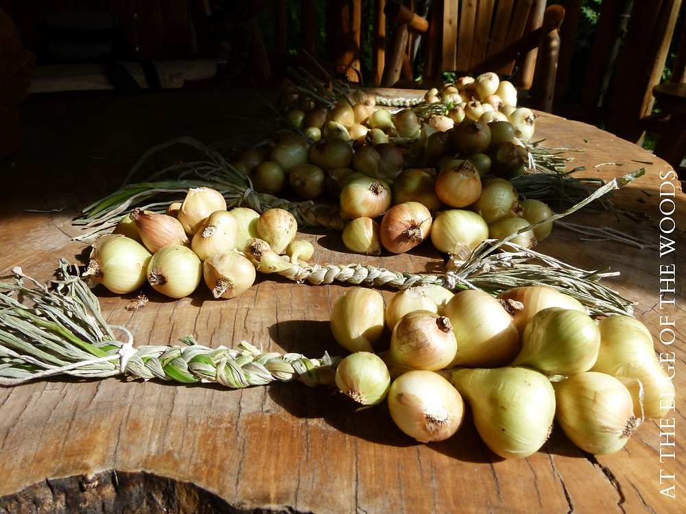 braids of Dutch Yellow shallots curing in the gazebo