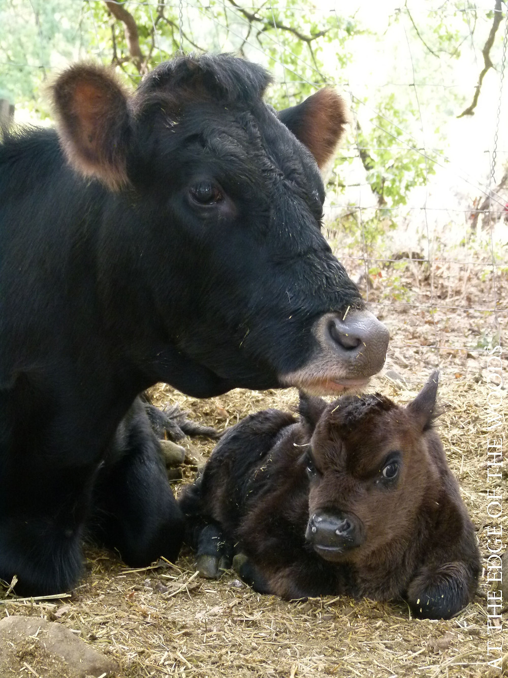 our heifer, Buttercup, and her new calf