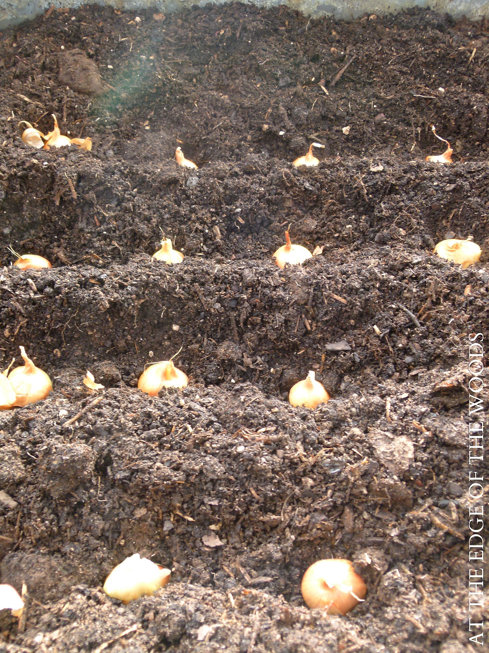 Dutch Yellow Shallot bulbs ready to be planted