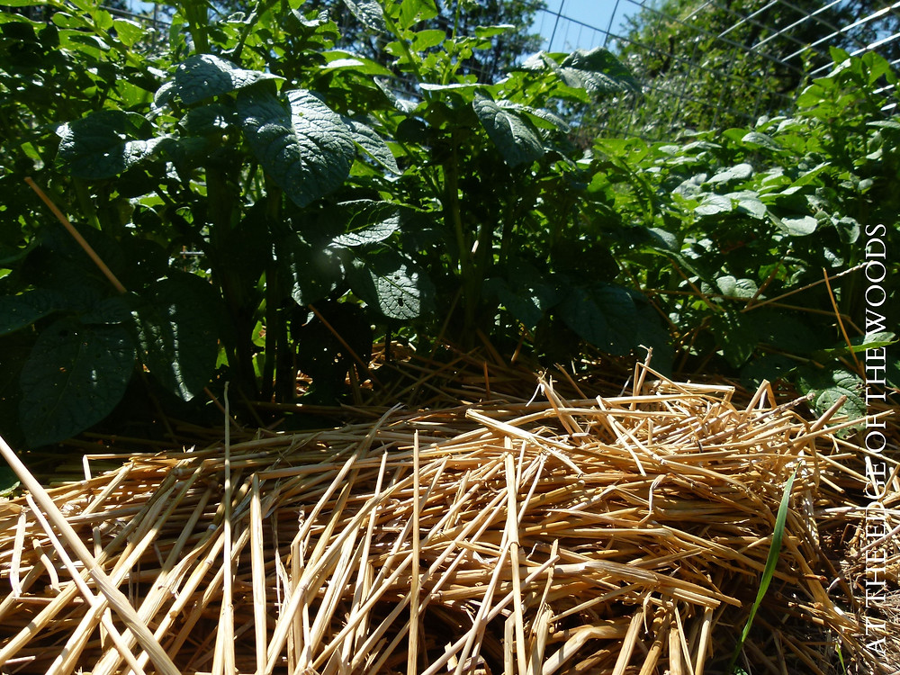 potato plants, deeply mulched with straw