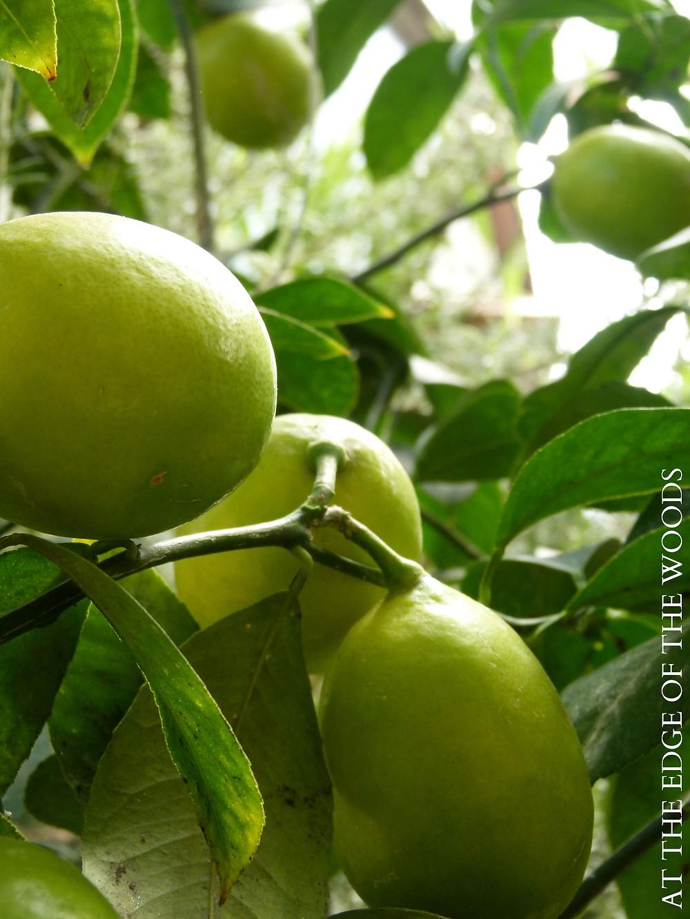 ripening Meyer Lemons