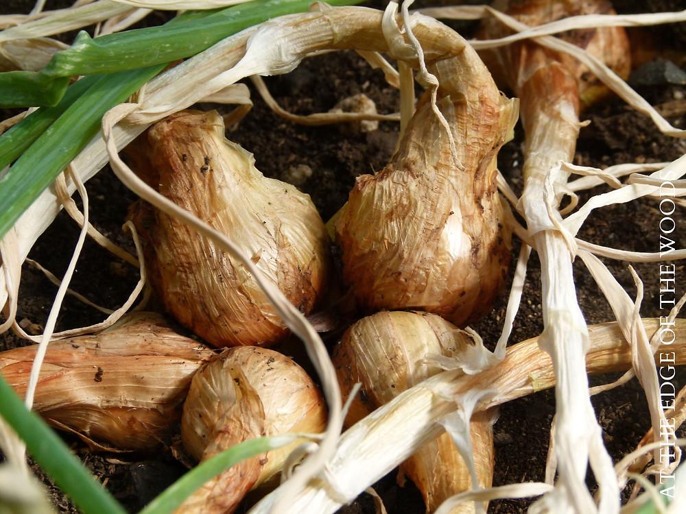 mature shallot bulbs