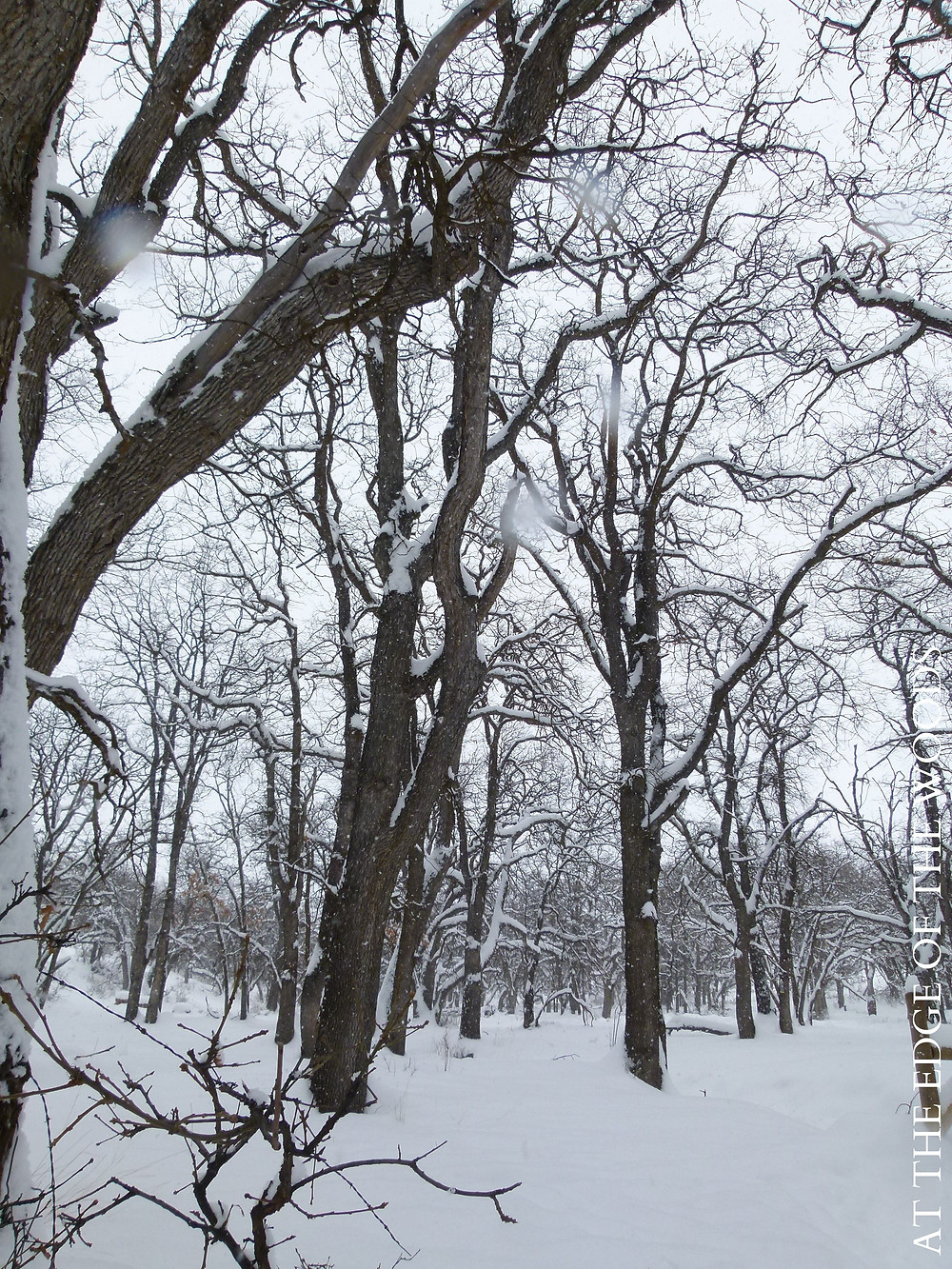 snow falling in the oak forest