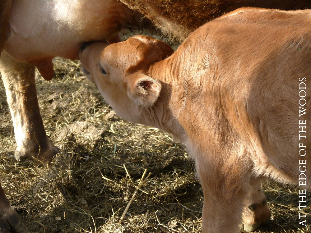 Glory finally found the teat on her own