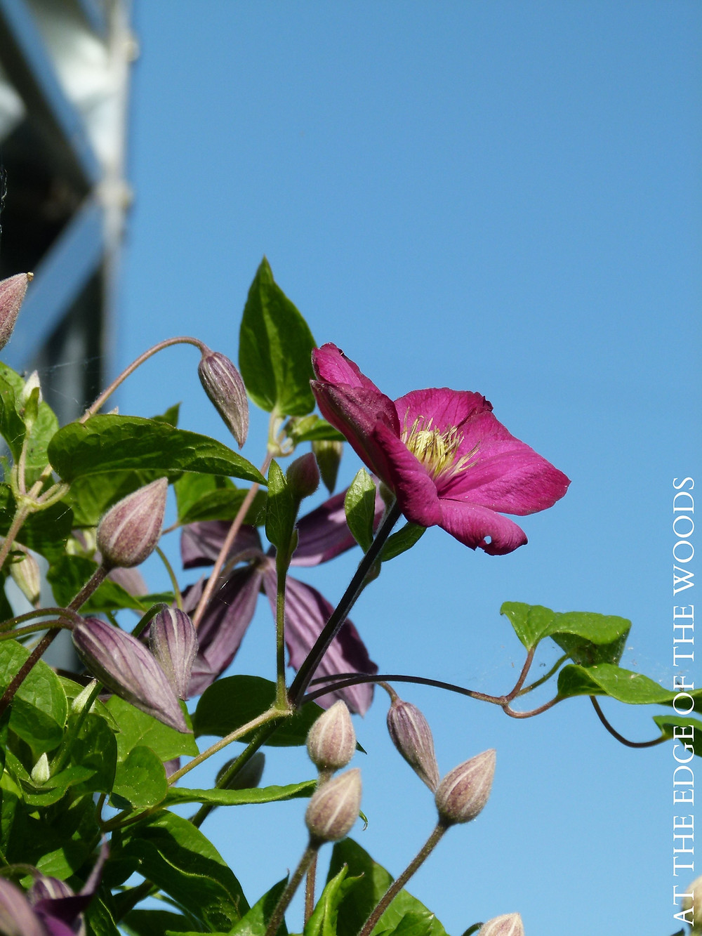 Clematis blooming on the windmill