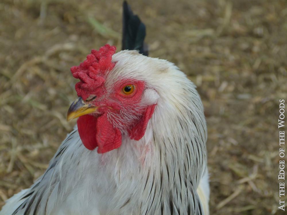 Bertram Rooster
