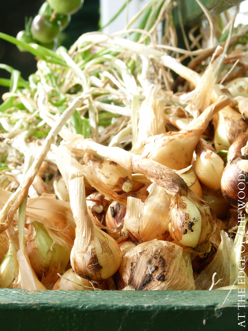 Dutch Yellow Shallots that have just been pulled out of the greenhouse beds
