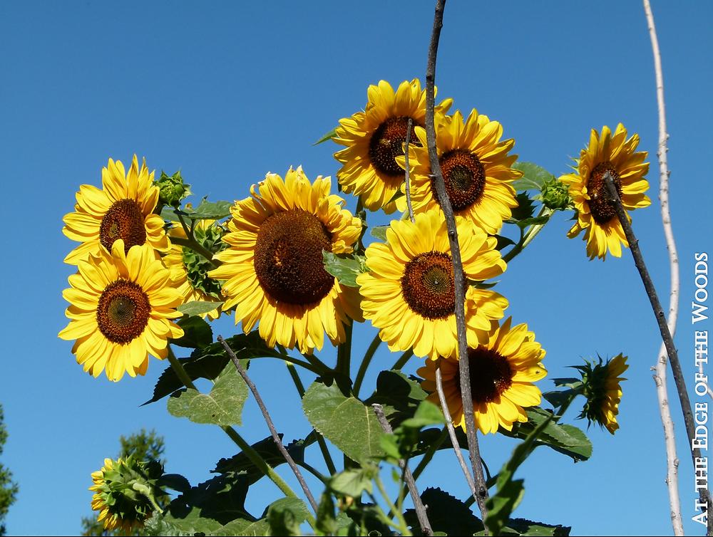 Hopi Black Dye Sunflowers