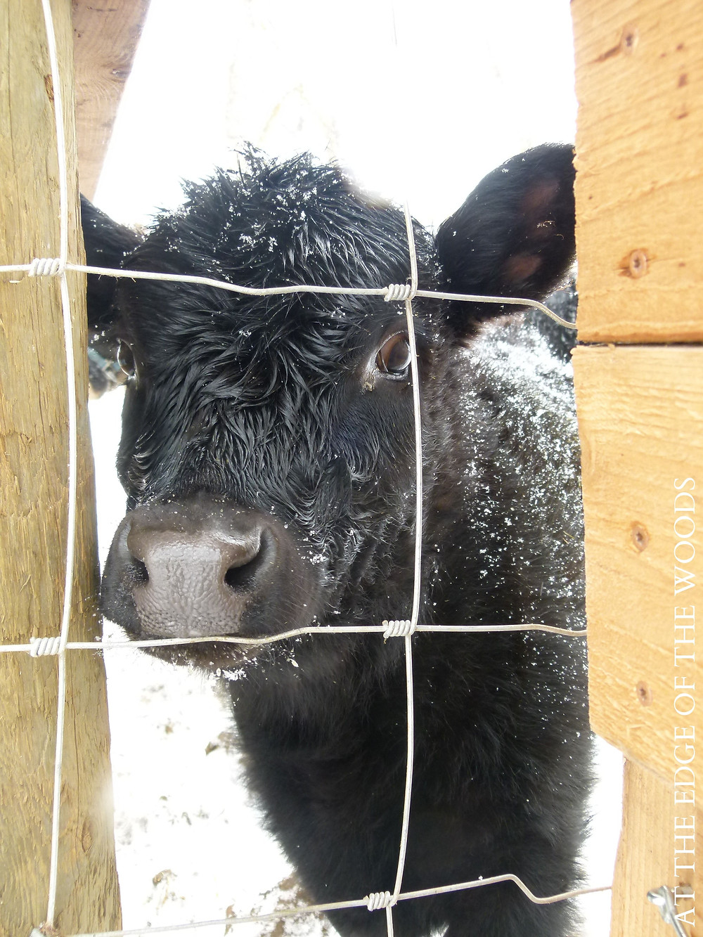 our calf, Fern, at five months