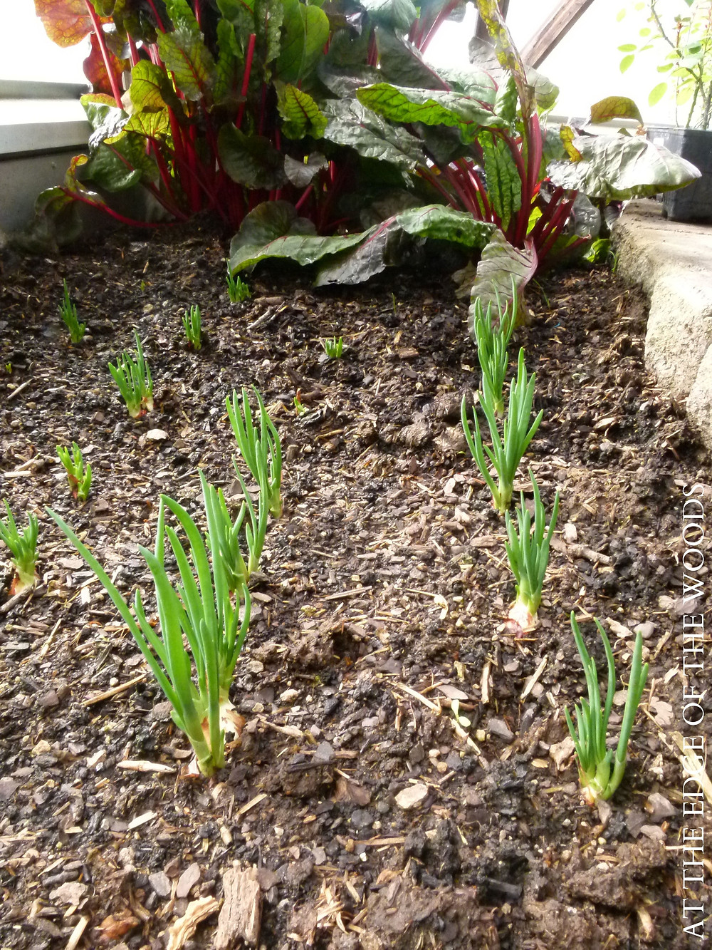shallots and Swiss chard growing in the greenhouse