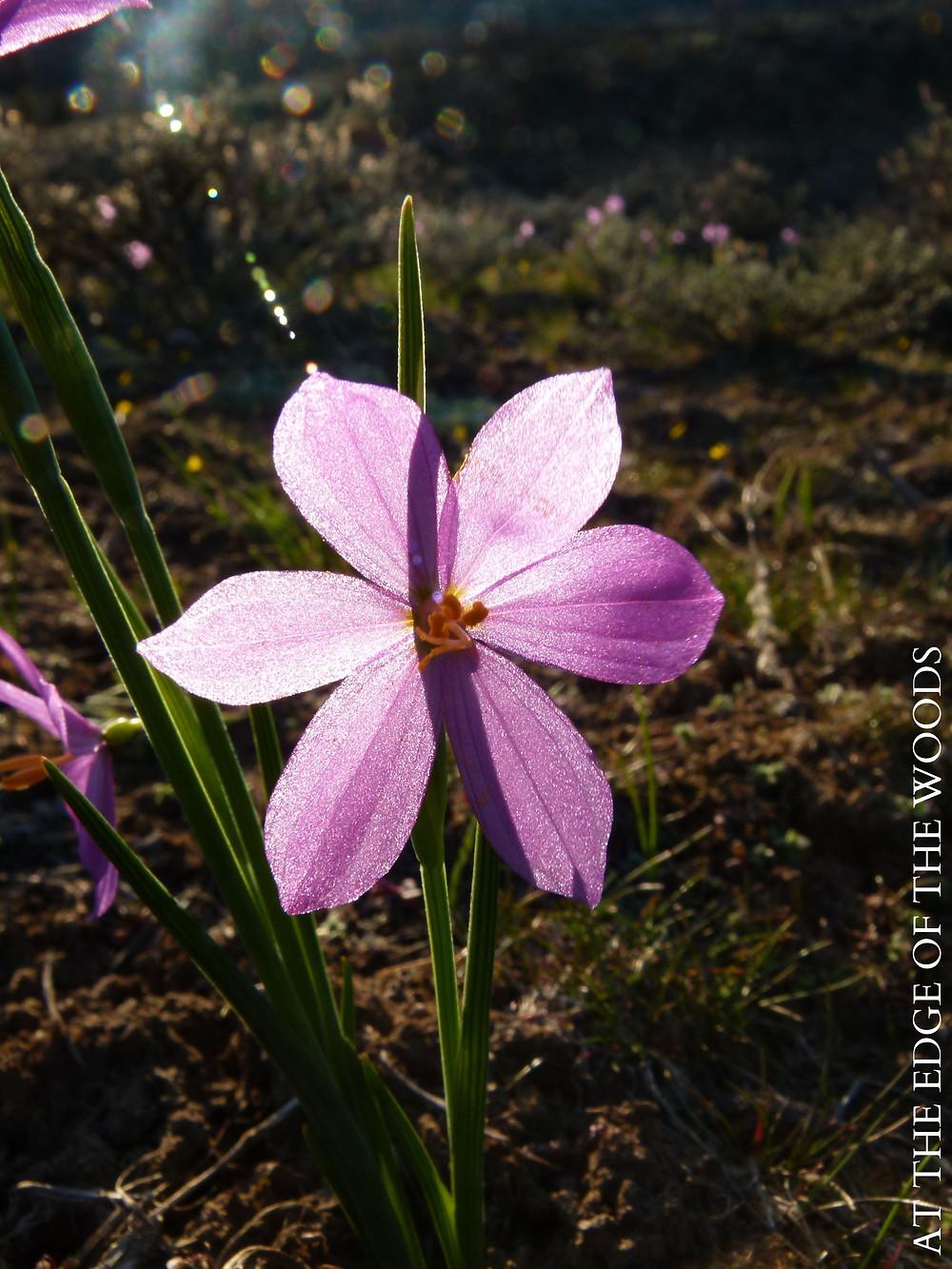 Grass Widow wildflowers
