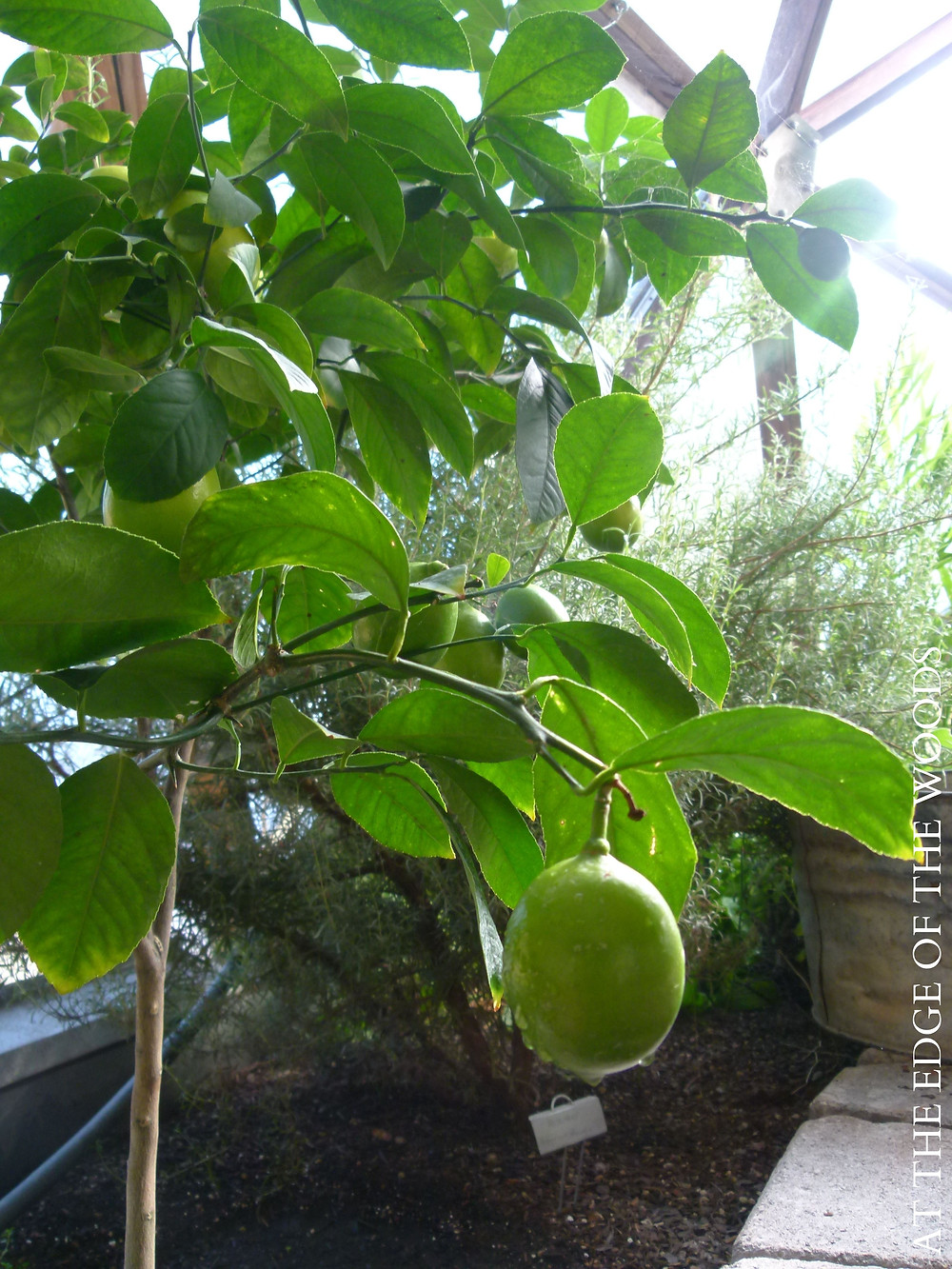 unripe Meyer Lemons