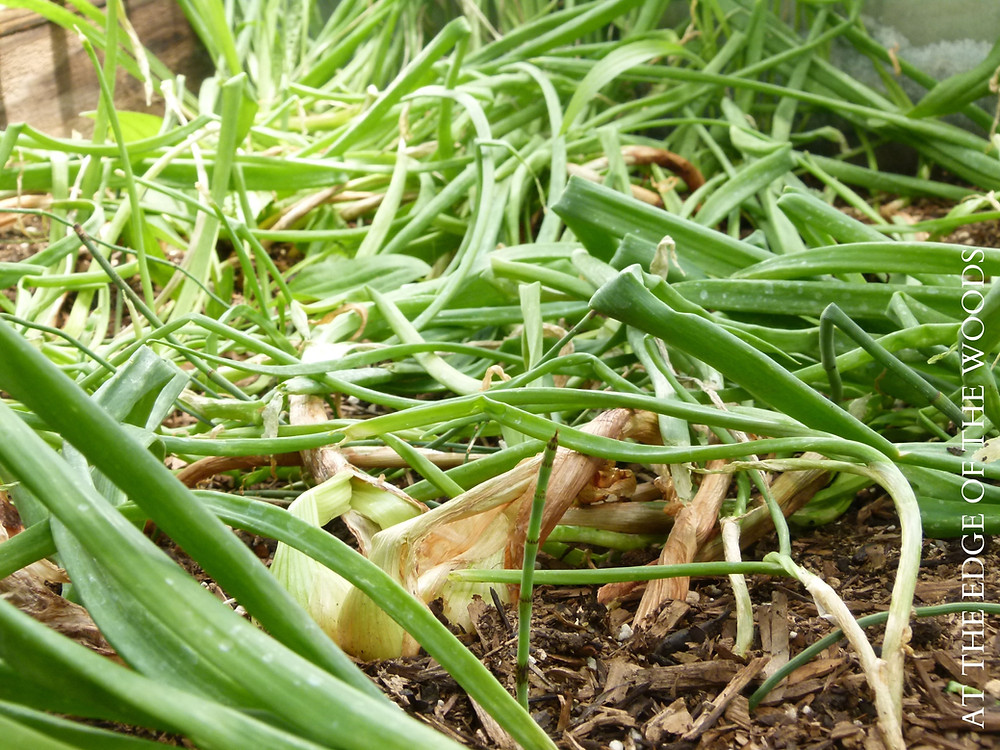 Dutch Yellow shallots ready for harvest