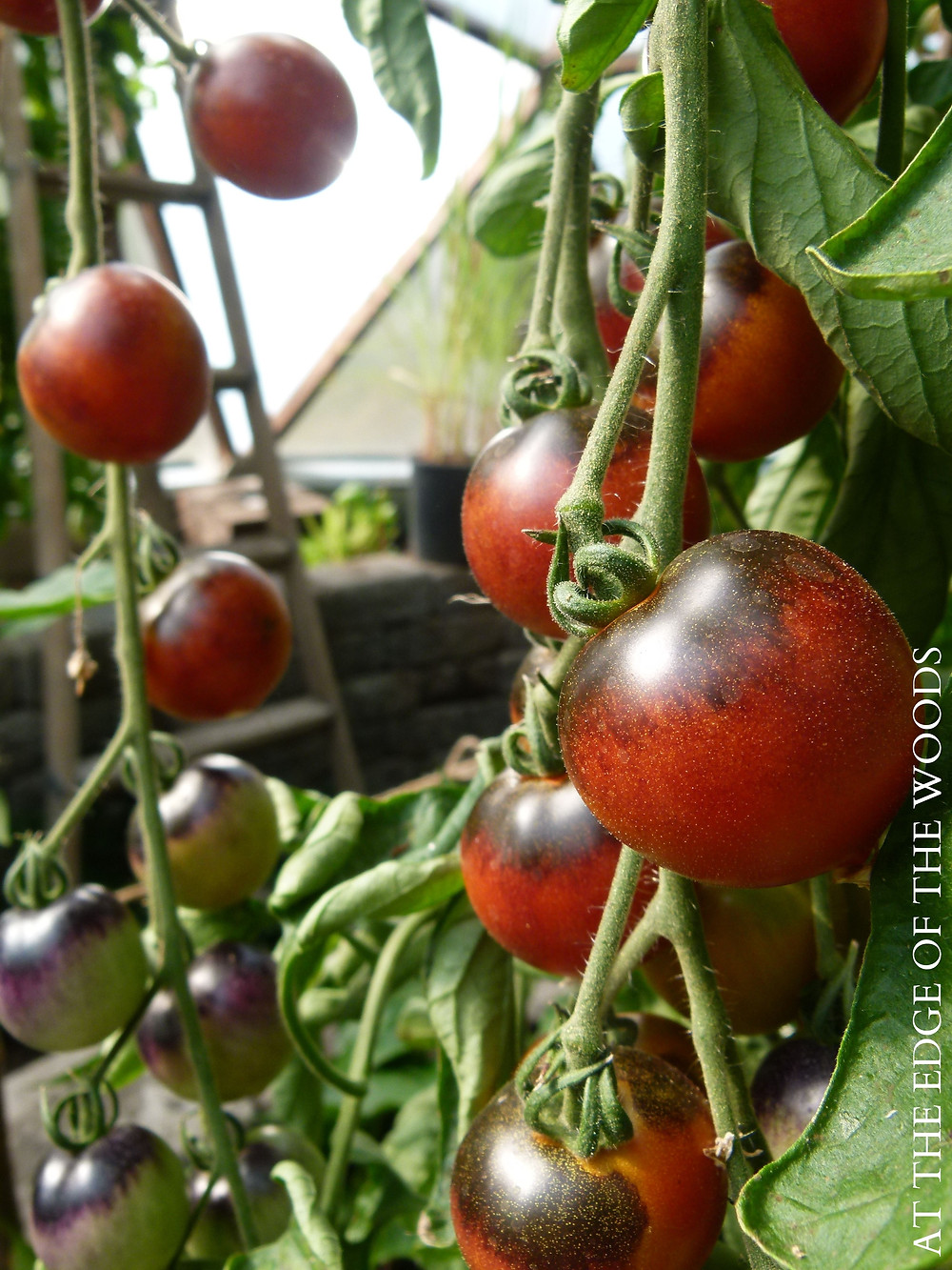 cherry tomatoes growing in the greenhouse